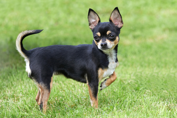 A Chihuahua outside in a field.
