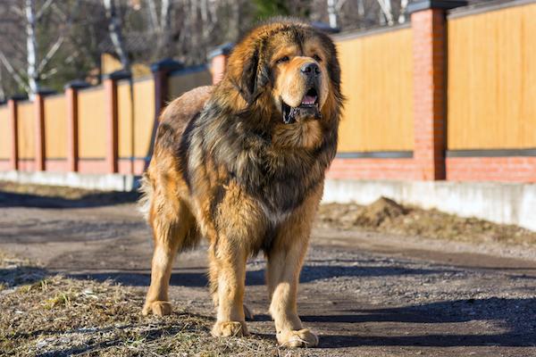 Tibetan Mastiff by Shutterstock