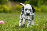 A Dalmatian puppy.