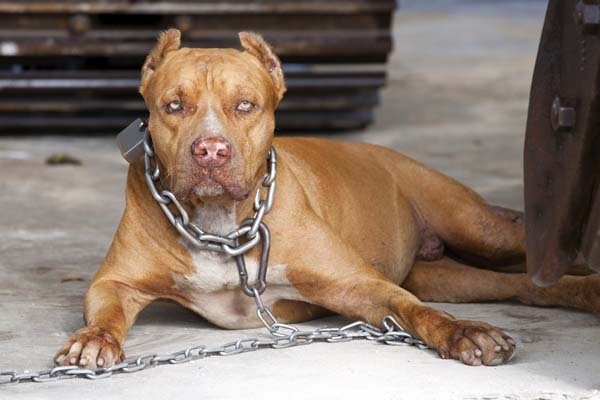 A dog tethered by a chain.