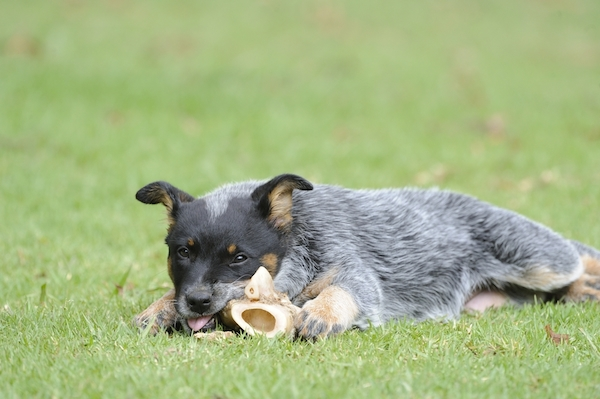 A 10-week-old Blue Heeler by Shutterstock.