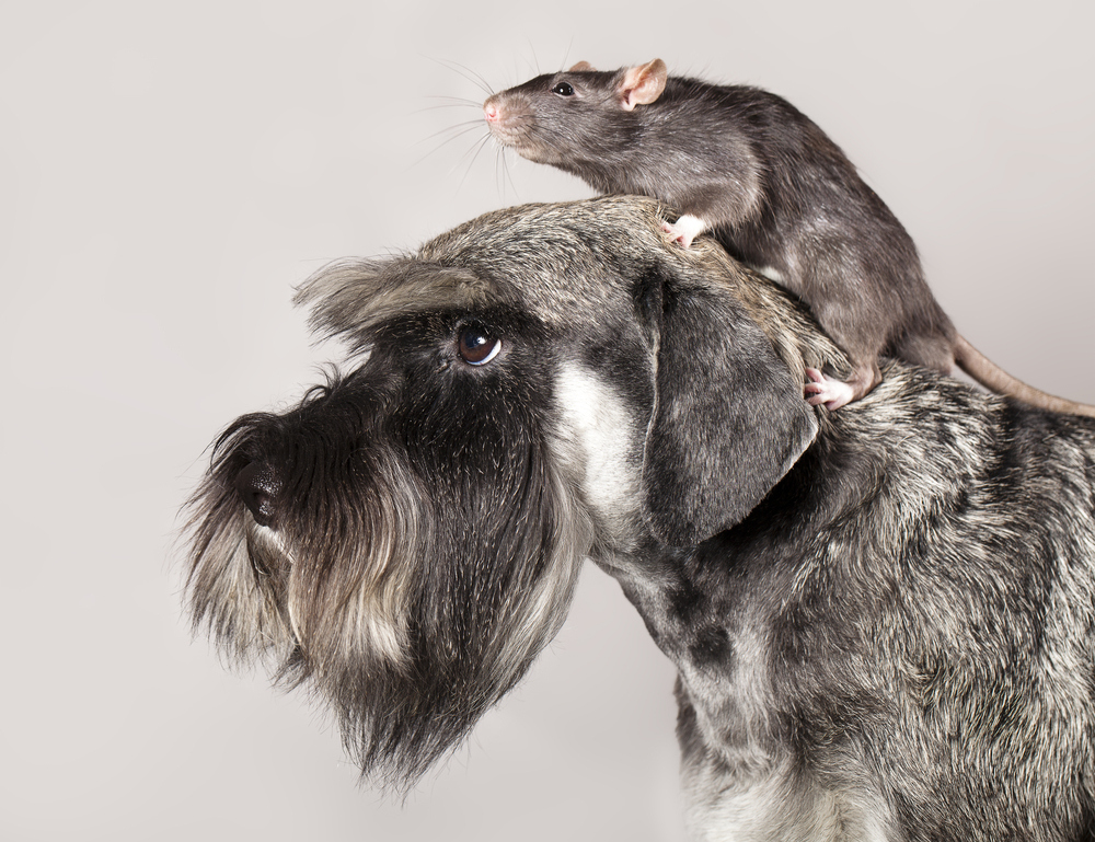 5 Tips for Helping Dogs and Pet Rats Get Along