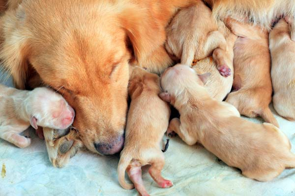 Newborn Golden Retriever puppies with their mom.
