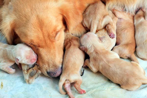Newborn Golden Retriever puppies with their mom.