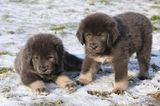 Dogs as Status Symbols: A Tibetan Mastiff Sells for $2 Million in China