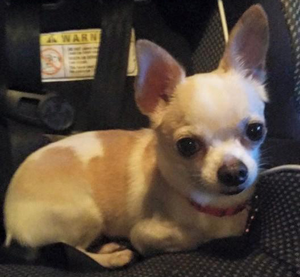 Police Find Chihuahua in Car Wreckage Two Days After Crash