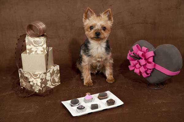 Remember for Valentine's Day that Dogs Eat Anything — Including Unattended Chocolate