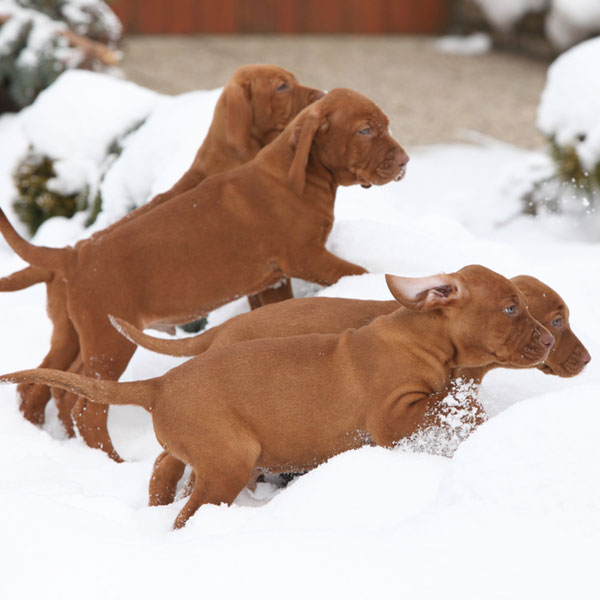 vizsla puppies make your day better in 10 photos. Black Bedroom Furniture Sets. Home Design Ideas