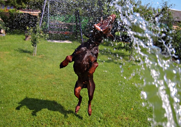 A dog runs around in water.
