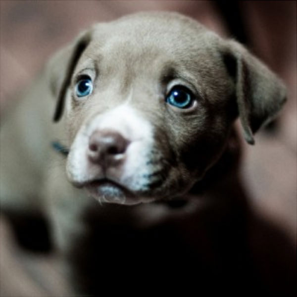 Which Dog Breeds Have Blue Eyes