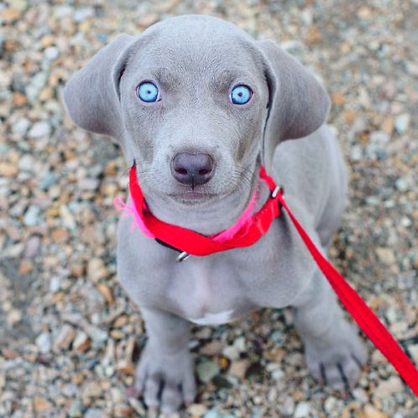 Surrender to the Hypnotic Eyes of These Weimaraner Puppies
