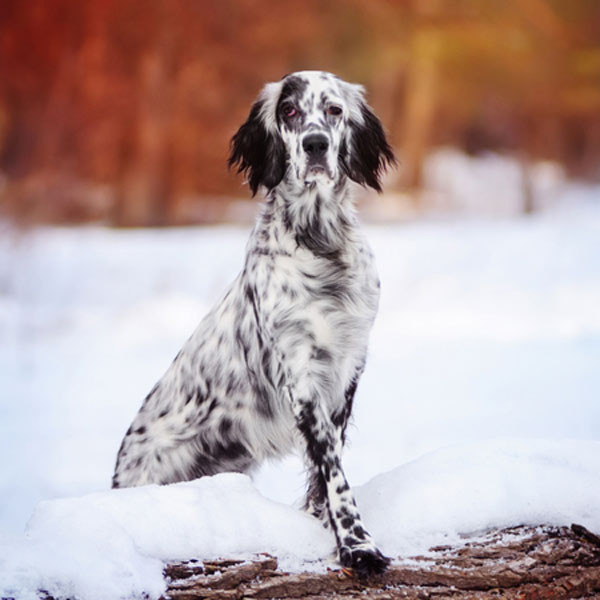 how to clean english setter ears