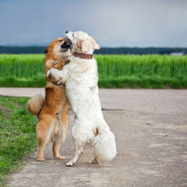 Two dogs friendly greeting or hug outside.