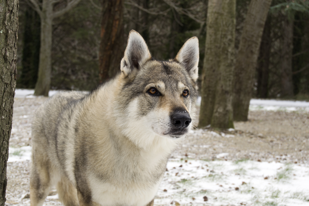 Can A Wolf Be Kept Like A Dog