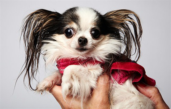 Guinness World Records Names A New Worldu0027s Smallest Dog