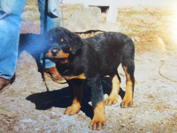 Rottweiler with cropped ears pictures
