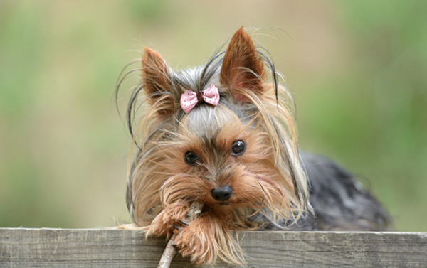 Vid We Love: Watch This Little Yorkie Terrify a Big, Bad Burglar
