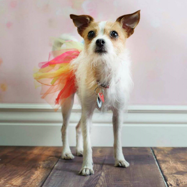 Chloe the dog in a skirt
