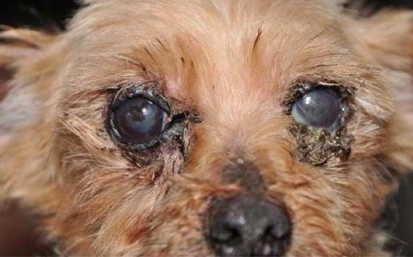 Hair Over Eyes Dog