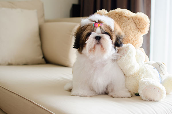 Cute Shih Tzu puppy on a couch.