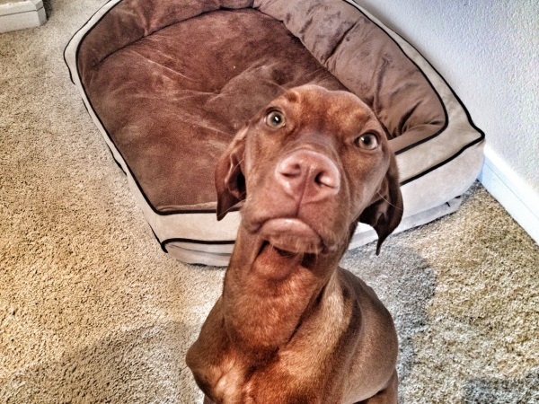 A Vizsla near a dog bed.