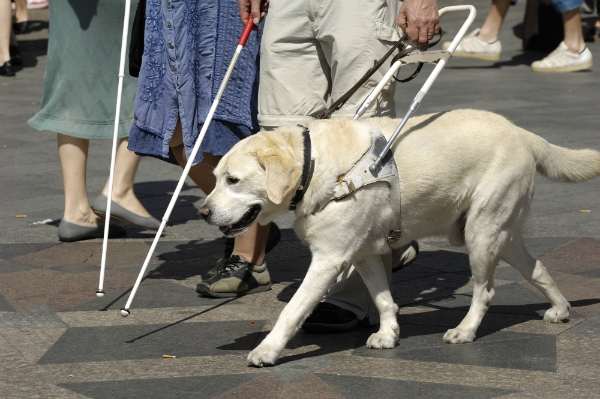 A Guide Dog helps his handler cross the street. Image via Shutterstock