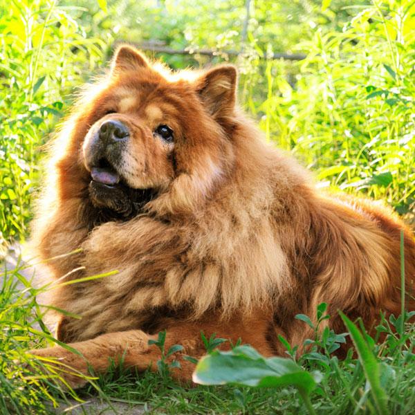 A Chow Chow dog.
