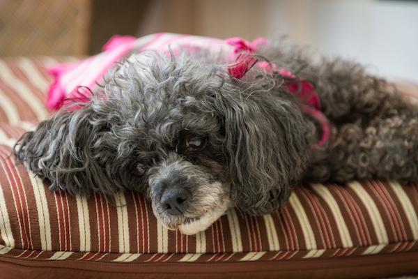 A senior dog, resting.