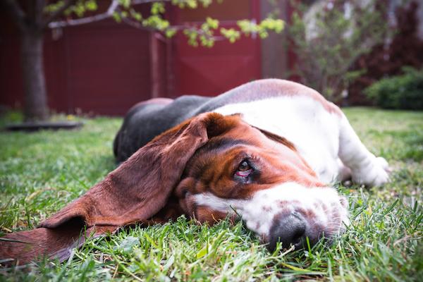 Basset Hound by Shutterstock.