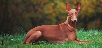 The Pharaoh Hound A Breed Waiting To