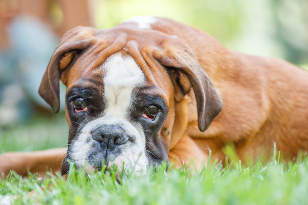 A boxer lying in the grass.