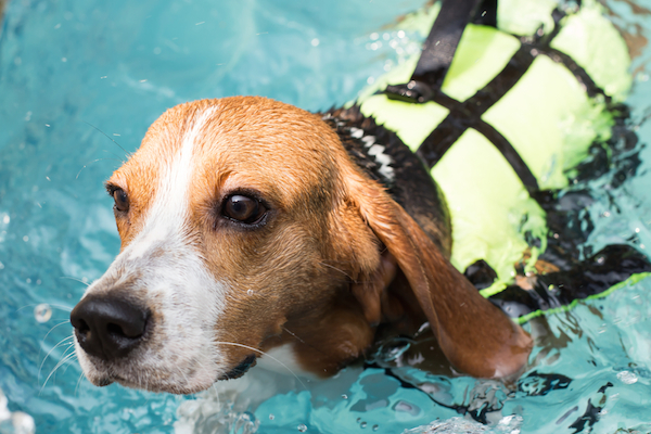 A beagle swimming, wearing a personal flotation device.
