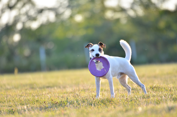 Parson Russell Terrier with a purple frisbee.