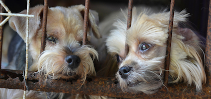 should puppy mills be shut down If you've read about puppy mills, you would think they would be easy to close down they are animal cruelty at it's worst it's not so easy.