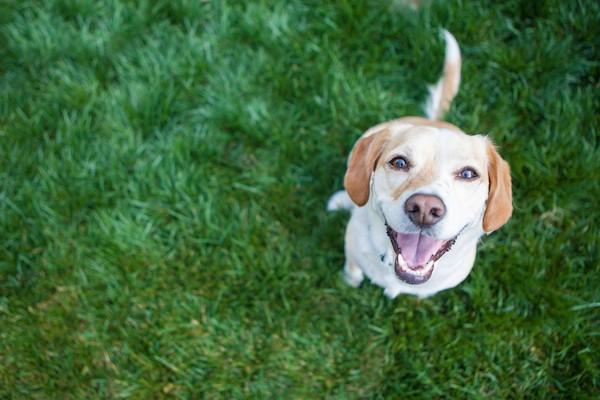 A golden retriever dog outside.