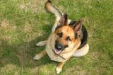 German Shepherd Dog. Photography by Polryaz / Shutterstock.
