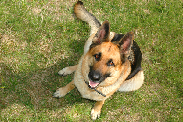 When It Comes To Military Dogs These 5 Breeds Are Military Heroes