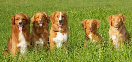 Get To Know The Nova Scotia Duck Tolling Retriever A Hunting Dog With An Unusual Name