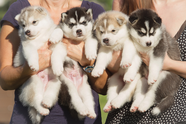 What Dogs Get Along With Huskies