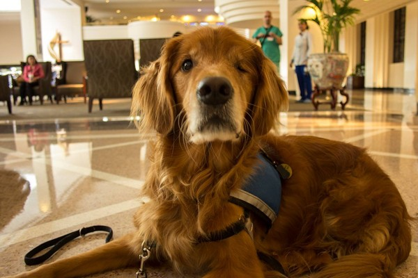 Therapy Dogs Dogster - Born blind smiley the golden retriever becomes a loving therapy dog
