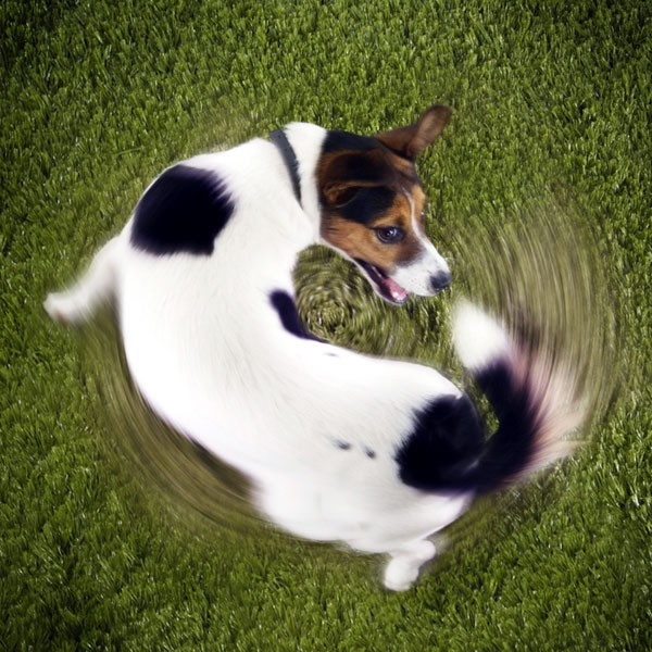 Tail chasing and tail biting in dogs.