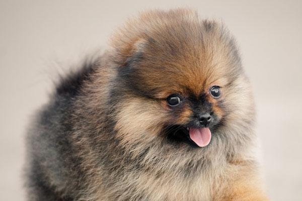 most popular miniature dog breeds