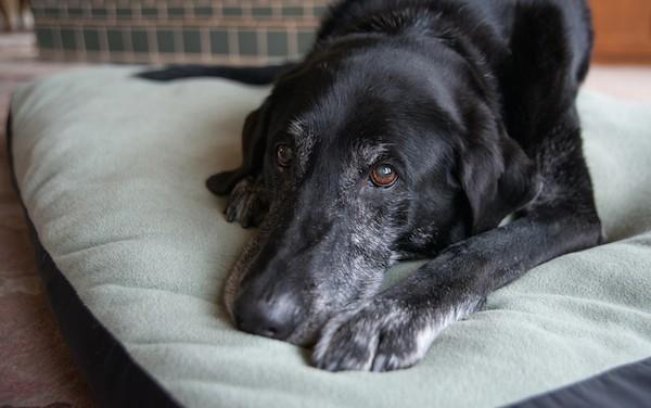 A senior dog.
