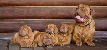 Get To Know The Dogue De Bordeaux