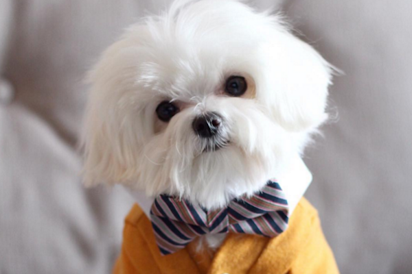 Milo the Maltese Is a Hit on the Doggie Fashion Scene