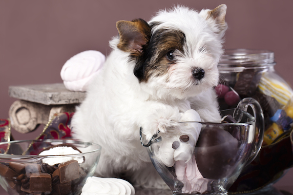 A puppy with chocolates.