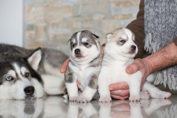 Siberian husky puppies with their mom.