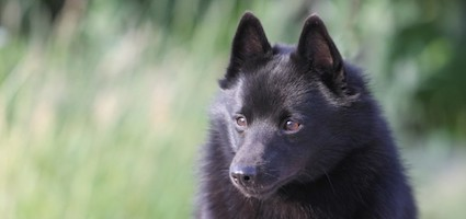get to know the schipperke the little captain