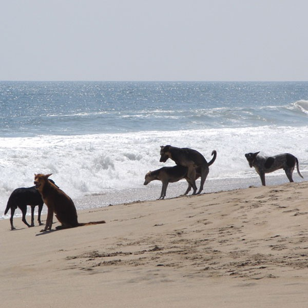 Dogs humping each other on the beach.
