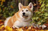 acquired myasthenia gravis in dogs